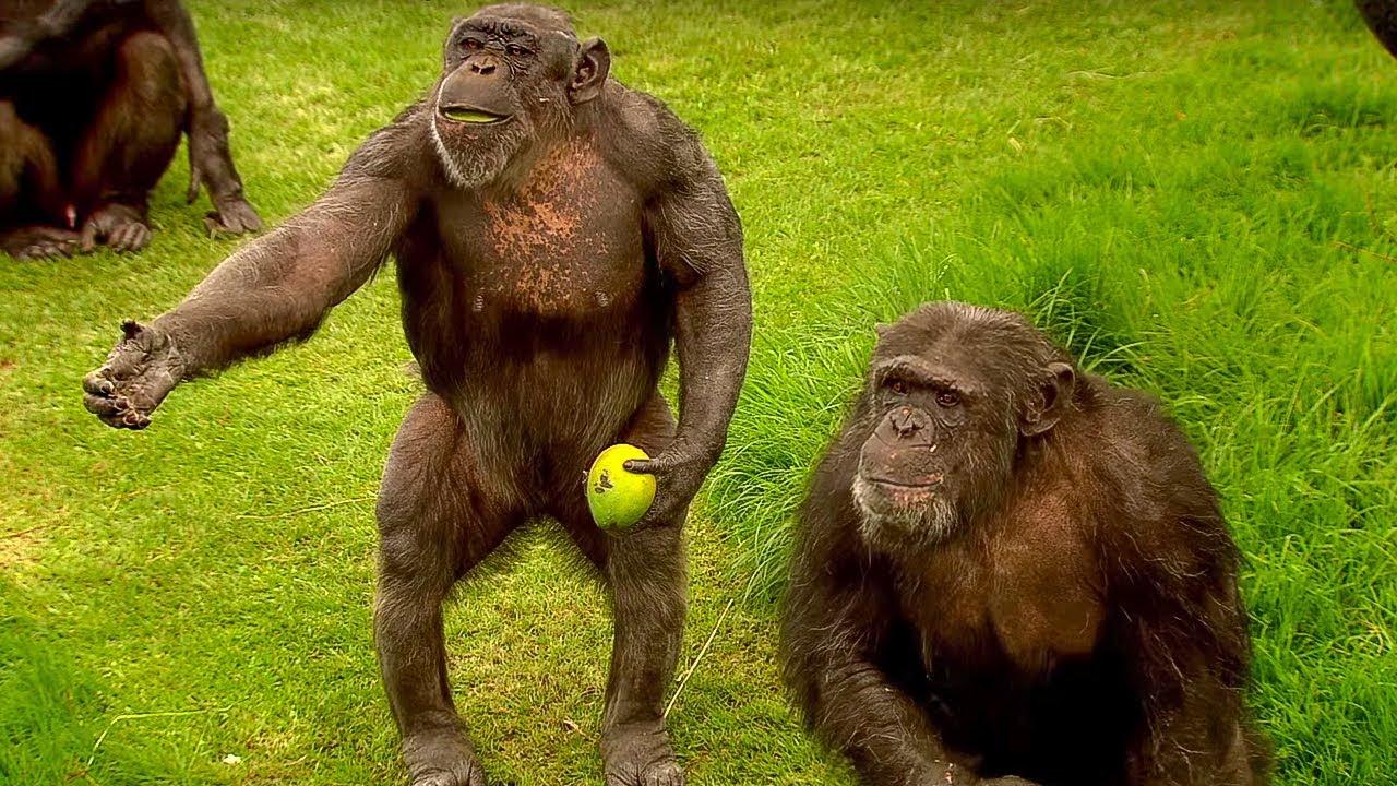 Jak mluví šimpanzi