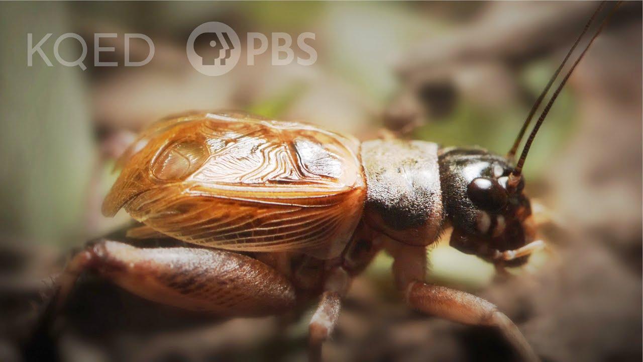 Jak to mají cvrčci s tím cvrkáním?