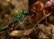 Jak vosa změní švába na zombie