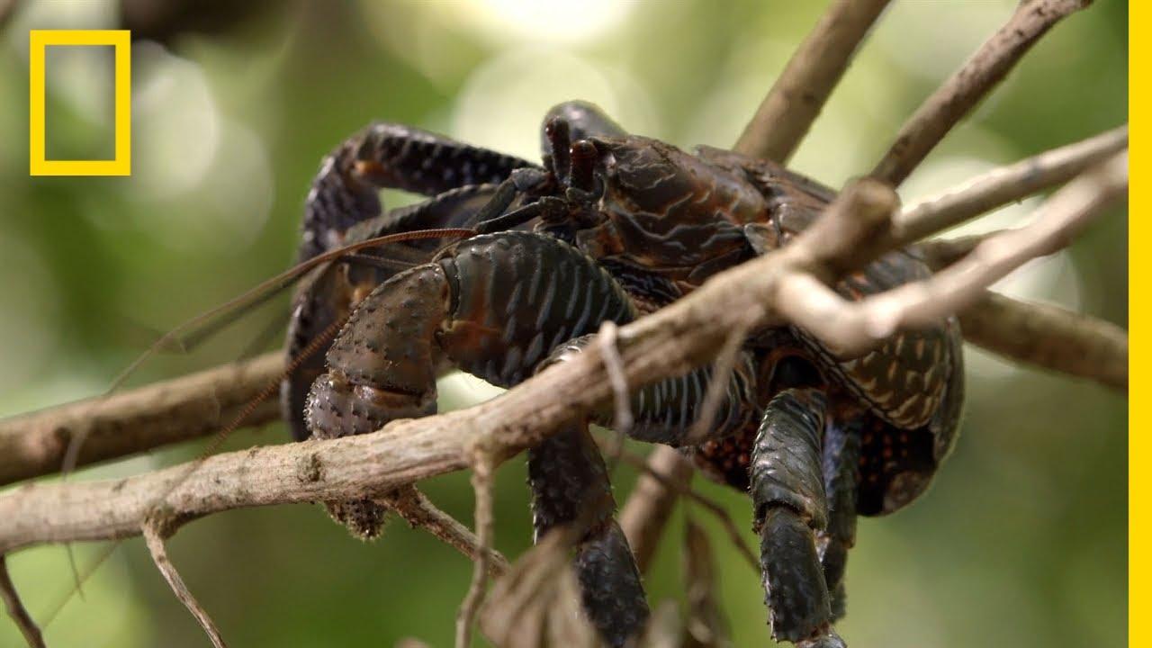 Krabi, kteří dokáží sníst i člověka