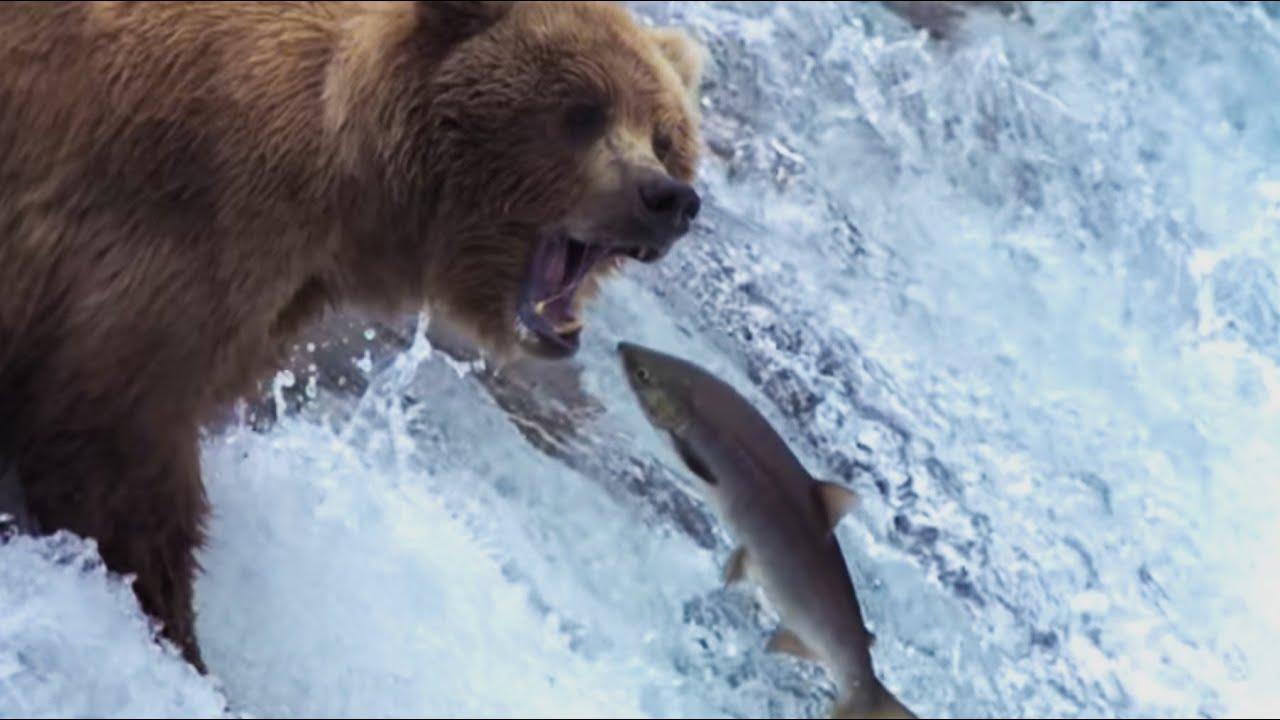 Medvědi chytají lososy
