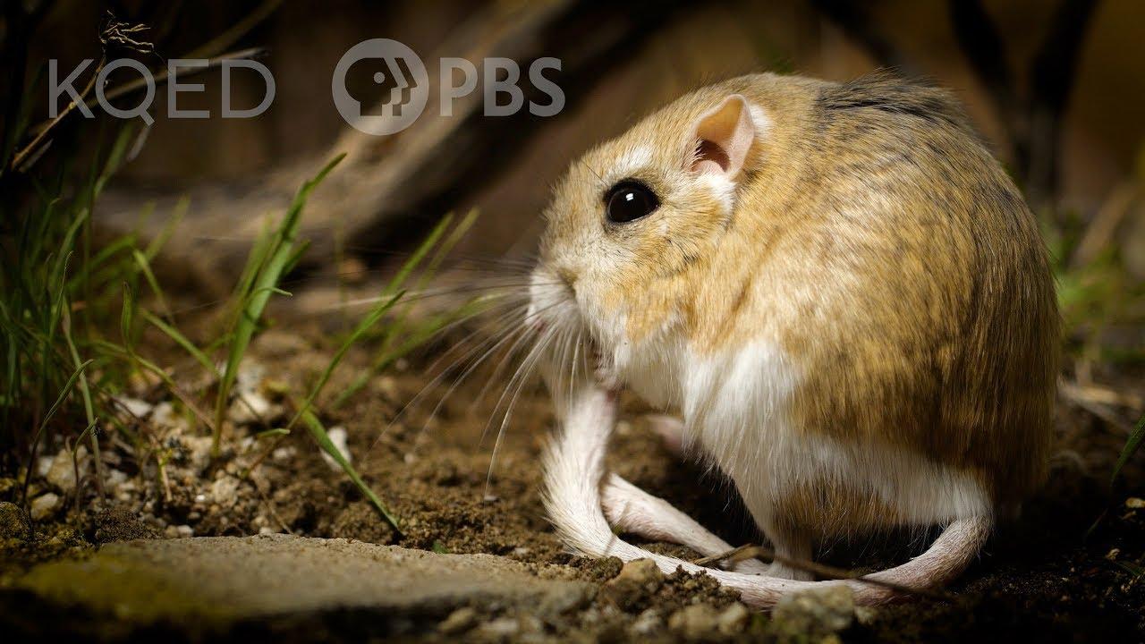 Myší nindža z pouště