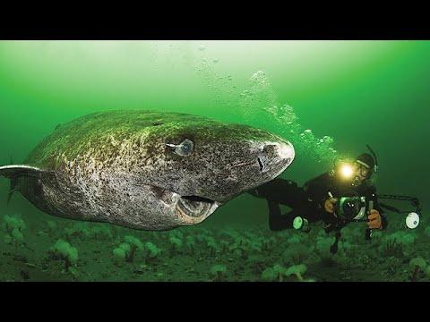 Nejstarší žralok na světě