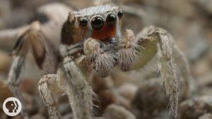 Pavoučí námluvy jako taneční a pěvecká soutěž
