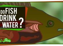 Pijí ryby vodu?