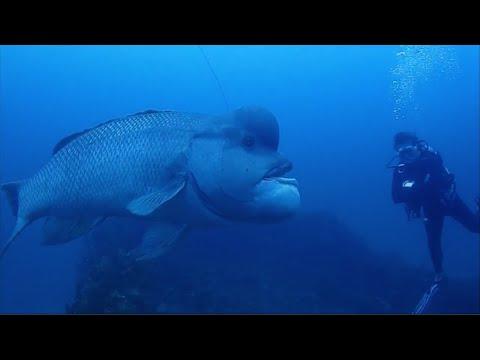Ryba kobudai alias pyskoun obrovský