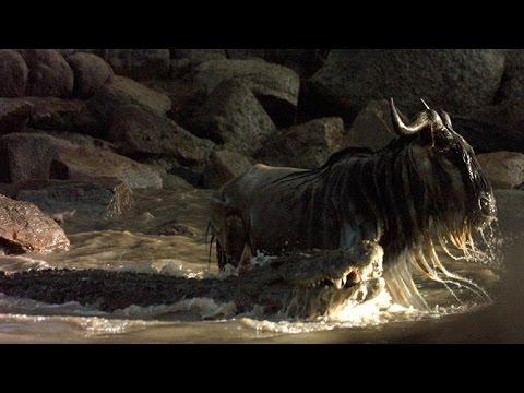 Souboj krokodýla s pakoňem a hrochem