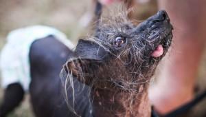 Soutěž o nejošklivějšího psa