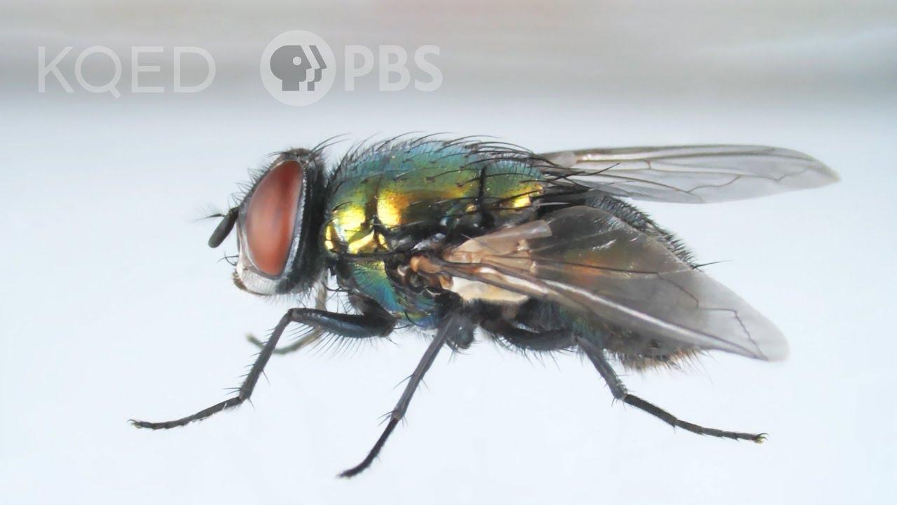 Takhle otravná moucha uhýbá vaší plácačce