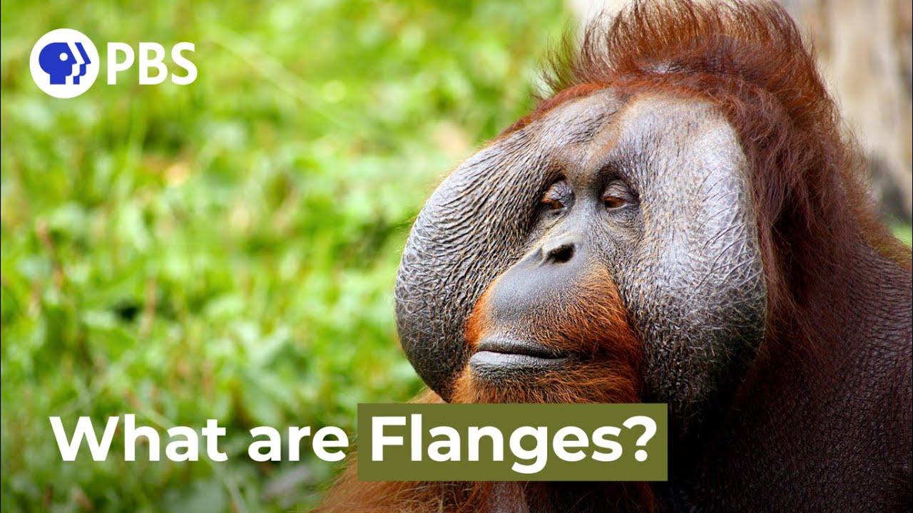 Víte, co to mají orangutani na tváři?